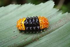 Moth Caterpillar (Zygaenidae), Singapore (singaporebugtracker) Tags: camouflage licorice mimicry gummybear macroinsect zygaenidae orangecaterpillar aposematiccolouration macritchieforest singaporebugtracker thoracicsegment