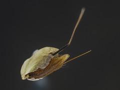 Ruchgrassamen (turbok) Tags: gewöhnlicheruchgras wohlriechendesruchgrasoderkurzruchgrasanthoxanthumodoratum c kurt krimberger