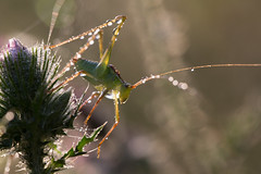 Dew (Michel Couprie) Tags: light flower macro nature wet water fleur animal backlight canon insect eos droplets dof bokeh dew grasshopper michel sauterelle rose couprie ef10028lmacro