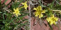 Fringed Puccoon - Lithospermum incisum (beautyinature4me) Tags: arizona yellow spring sedona wildflowers borage boraginaceae lithospermumincisum fringedpuccoon