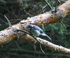 IMG_2538 (neil grandison) Tags: bird greyjay