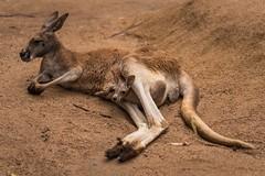 Just hopping out. 277/366 (jenniferdudley) Tags: nikkor2470mm nikkor nikond750 nikonaustralia mynikonlife nikon 3oct16 day277366 native zoo roo kangaroojoey kangaroo babyanimal babyanimals animals joey animal wildlife australianwildlife marsupial australia 366the2016edition 3662016