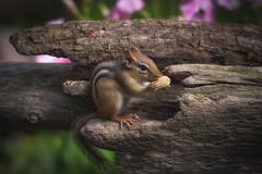 """Chippy"" (hey its k) Tags: backyard chipmunk nature hamilton ontario canada ca img6025e canon6d tamron 150600mm nut"