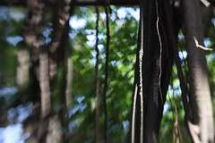 Tree of hearts (Peter J Brent) Tags: tainan taiwan anpingoldtaitandco treehouse banyantree