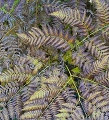 early autumn ferns (jwalkr4) Tags: ferns autumn dying vt nikon1