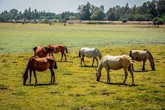 cavalos HDR (rocklino) Tags: paisagemnatural espanha landscape natureza nature animals animais cavalos horses prairie pradaria wildhorses cavalosselvagens