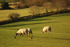 Sheep and partridges in early spring sunlight (sallyclarkephotos) Tags: sheep northdevon molland partridges