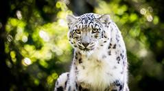 52-40 (Rich Byham) Tags: snowleopard marwell zoo wildlife nikon d610