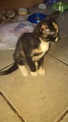 IMG_13721 (Shiningheart) Tags: tortoiseshell cat white yellow eyes patches