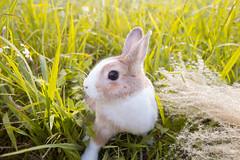 IMG_1671.jpg (ina070) Tags: animals canon6d cute grass outdoor outside pets rabbit rabbits