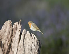 Scotland (richard.mcmanus.) Tags: scotland robin heather blackisle jamesmoore britishwildlife mcmanus bird animal gettyimages
