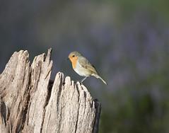 Scotland (richard.mcmanus.) Tags: scotland robin heather blackisle jamesmoore britishwildlife mcmanus bird animal gettyimages