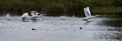 Its not All About The Deer.... (paulinuk99999 - just no time :() Tags: paulinuk99999 bushy park swans defending territory london wildlife flap sal70400g