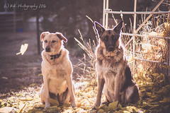 Watching Fall ([rk photography // smudgeblox]) Tags: grace butterball german shepherd gsd labrador alsatian lab mix cattle dog australian blue red heeler fall autumn falling leaves colors watching leaf front