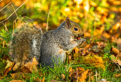 Autumnal Fare (paulapics2) Tags: squirrel animal mammal hydehallgardens rhs outdoor nature acorns autumn fall seasons grass leaves cute furry canoneos5dmarkiii canonef70300mm depthoffield