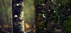 puffballs and deer poop (taralees) Tags: mainewoods fungi scat autumninmaine pairs two doubles picmonkey