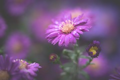 Pure (Stadt_Kind) Tags: popular flickr new germany bavaria kempten stadtkind sonyilce7m2 sonyfe2890macrogoss macrophotography macro naturephotography nature depthoffield dof bokehlicious bokeh petals petal fleur flores blüte blume flower