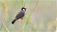 White-eared Bulbul (markjasminphotography) Tags: bulbul bird birding bokeh animal wildlife nature shubaily khobar ksa cornichegrapher markjasmin