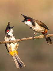 I am your friend (achuaniaku) Tags: 300mmf4 d610 eveninglight berries pair redwhisperedbulbul bulbul