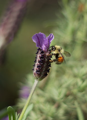 Bee the One (WoodlandsPhotography) Tags: honeybee flower macro pollination bee lavender nature blossoms insect summer yellow black spring flowers bees honeybees insects blossom pollinate garden animal green closeup outdoor outdoors plant plants natural collect beautiful floral leaf up close wild worker wildlife wing wings workers leaves feeding gathering gather small alone flora standingup stand background winged pink mauve spike bloom blooms spanishlavender marilynwilson