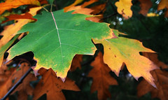 From green to yellow to brown (jeffcbowen) Tags: fall highpark toronto