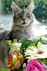 Floris as beautiful as the flowers. (Cajaflez) Tags: kat kater katze chat gatto longhair huisdier mainecoon portrait portret flower bloemen gerbera roos rose greeneyes groene ogen tomcat floris coth5 ruby5