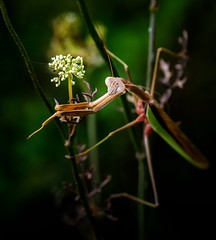 Trick, or Trick ? (Portraying Life) Tags: michigan unitedstates mantis handheld closecrop nativelighting