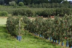 ckuchem-2190 (christine_kuchem) Tags: apfelplantage biolandwirtschaft erntezeit landbau landwirtschaft naturhof obstplantage biologisch obstbã¤ume reif ãpfel