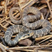 Plain-bellied Watersnake, Juvenile