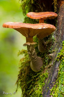 Cetas / mushrooms