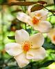 2016 Autumn Rose (shinichiro*) Tags: 20161007sdq1094edit 2016 crazyshin sigmasdquattro sdq sigma24105mmf4dgoshsm autumn october yokohama kanagawa yokohamaenglishgarden flower macro rose nik nikcolorefexpro