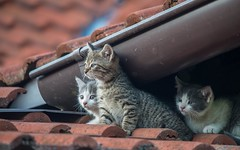 kittens (26) (Vlado Ferenčić) Tags: kittens kitty catsdogs cats animals animalplanet zagorje hrvatskozagorje hrvatska croatia nikond600 sigma150500563