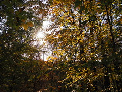 Sunlight through autumn leaves (pilechko) Tags: bowmanshill newhope buckscounty trees color leaves light pennsylvania fucktrump