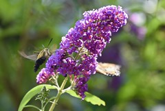 Late Summer visitors! (ineedathis,The older I get the more fun I have....) Tags: hummingbirdmoth hemarisdiffinis butterfly   lepidoptera monarch female danausplexippus butterflybush buddleia garden summer bokeh purple black yellow green nikond750 flowers nature flower plant insect