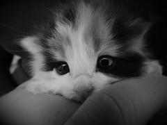 Ártemis (JBarb0sa) Tags: baby cat gato filhote lindo meigo carinho amparo black whit preto branco foto amador