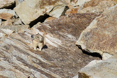 Hi, I'm a Pika. (GlobalGoebel) Tags: canon powershot g9x pointandshoot grand teton national park wyoming pika cute tetoncresttrail