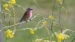 Linotte mlodieuse, Am, n (R, 2014-05-04_2) (th_franc) Tags: oiseau linottemlodieuse