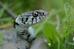 grass snake, Natrix natrix helvetica (willjatkins) Tags: macro snake snakes britishwildlife grasssnake natrix sigma105mm natrixnatrix ukwildlife britishsnakes britishsnake macrowildlife natrixnatrixhelvetica uksnake uksnakes britishreptilesandamphibians ukreptiles nikond7100 britishherpetofauna ukamphibiansandreptiles ukreptilesandamphibians britishamphibiansandreptiles snakesofeurope