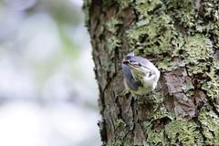 IMG_8804  Sitta europaea (SORO 556 by ENJOY DESIGN) Tags: canon sittaeuropaea  wildbirds  eos6d
