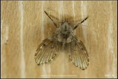 _2X_APSC_02 () Tags: macro canon flickr f e wen wesley mp 28 mm ho dslr f28 animalia arthropoda chen 65 1x diptera 2x  4x insecta mpe 65mm 3x   5x hexapoda pterygota neoptera endopterygota howen  psychodidae  450d nematocera 15x  psychodomorpha albipunctata clogmia  chenhowen   wesleychen  clogmiaalbipunctata psychodoidea