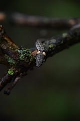 Natrix natrix (Dyfflin) Tags: snake reptilia grasssnake natrixnatrix
