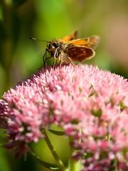 Pollenators Pollinating (kellimatthews) Tags: pink flowers macro outdoors moth depthoffield sedum