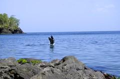 Plican en train de chasser // Pelican hunting, Martinique (mesliermarie) Tags: bird pentax martinique hunting pelican tropical caribbean oiseau antilles les indies le westindies plican frenchwestindies tropique carabes