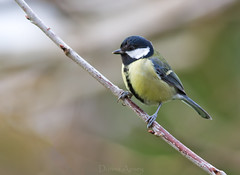 Great Tit (Donna Apsey - http://donnaapsey.zenfolio.com/) Tags: life blue winter wild sky black color detail tree green bird eye nature beautiful look animal yellow closeup glitter garden outdoors one major colorful european branch tit shine bright image head background wildlife small great watching profile stock beak feather single tiny perch environment fowl titmouse birdwatching songbird parus tomtit passerine