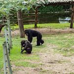 Chimpanzees thumbnail