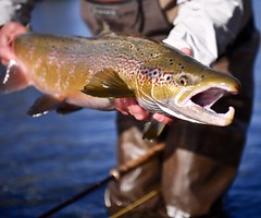 Male Salmon (spey2008) Tags: male salmon flyfishing gaspe
