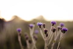 Kas Plateau : Flower 002 (anish.padalkar) Tags: india flower closeup sunrise golden bokeh outdoor maharashtra satara kas weekendgetaways traveldiaries anishpadalkar