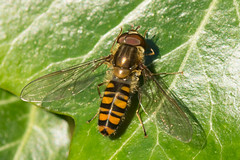 Marmalade Fly-  Episyrphus balteatus (linanjohn) Tags: uk macro nature wildlife lakedistrict insects cumbria syrphidae diptera borrowdale hoverflies episyrphusbalteatus syrphini marmaladefly