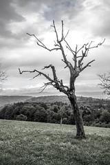 Gibbet tree (realdauerbrenner) Tags: 2016 aargau baum europa galgen herbst mitteleuropa rhein rheinfelden rheintal schweiz switzerland tag autumn cloudy dag day europe hst middleeurope tree trd wolkig gibbet