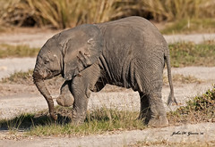 JHG_6629-b Weeks old Elephant calf just having fun, Amboseli, Kenya. (GavinKenya) Tags: africa wild nature animal june john mammal photography gavin photographer kenya african wildlife july grand safari dk naturephotography kenyasafari africansafari 2015 safaris africanwildlife africasafari johngavin wildlifephotography kenyaafrica kenyawildlife dkgrandsafaris africa2015 safari2015 johnhgavin